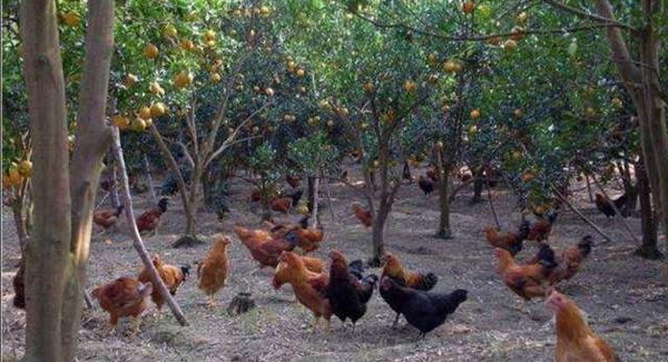 散养鸡的准备工作