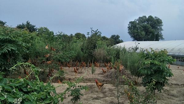 生态养鸡的放养场地选择