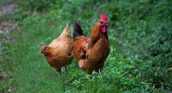 散养鸡鸡舍