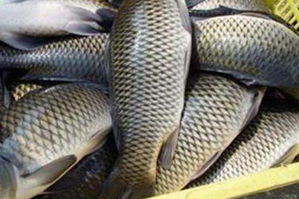 鲫鱼储存方法及营养分析