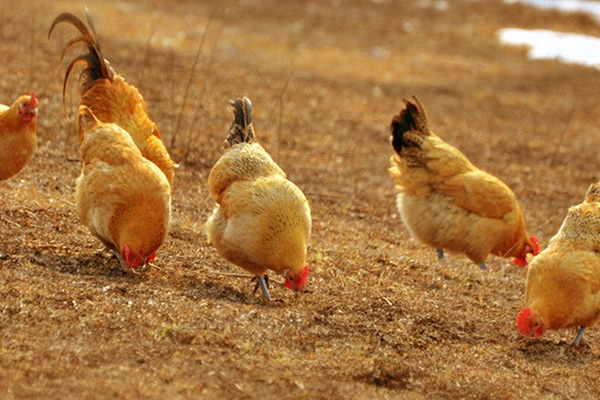 土鸡的生活习性介绍