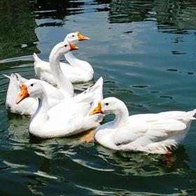肉鹅一般饲养70-80天出栏