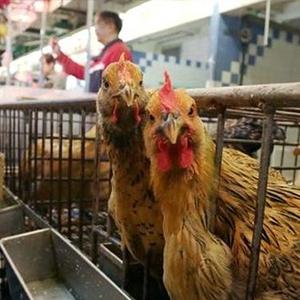 散养育肥鸡管理