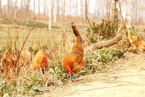 果园养鸡-鸡群管理