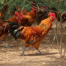 酱油鸡是如何做出来的呢?