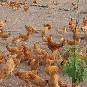 鸡肉:对人体的骨骼发育有很大的帮助