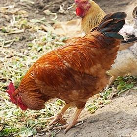 散养鸡的营养分析