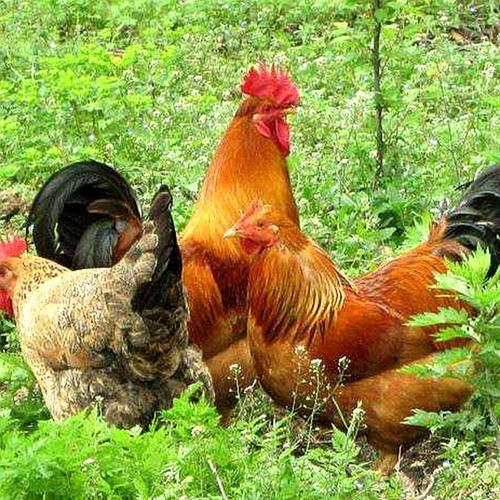 秋冬季节交替鸡病防控关键点