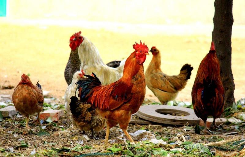 为什么买的鸡不好吃?是因为你不会区分散养鸡和土鸡,难怪不好吃