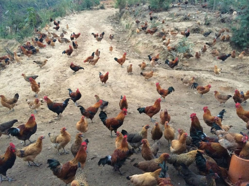 散养鸡的养殖方法,老农户的养殖技巧,真是太有用了