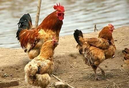 农村散养鸡该怎么养才好?这些养殖技巧和注意事项