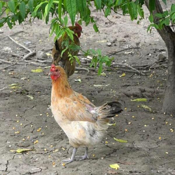 散养鸡的养殖方法