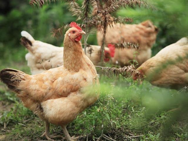 提高鸡产蛋的方法