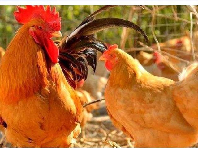 散养鸡产蛋期的饲养管理应注意哪些问题?