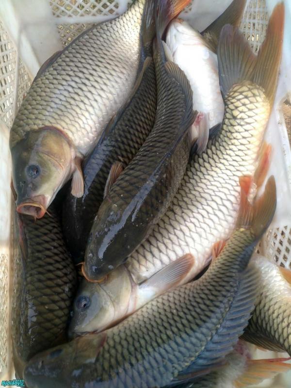 不同种类的鱼饵料配方