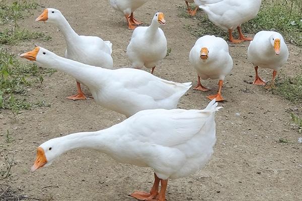鹅育雏饲养方法