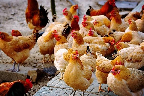 产蛋鸡饲料配制时的三个注意事项