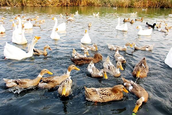 冬季养鸭应该注意的事项