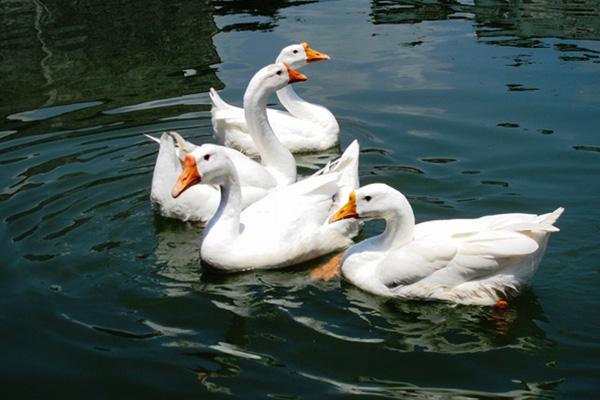 安可绿生态养殖_鹅饲料与鸭饲料区别