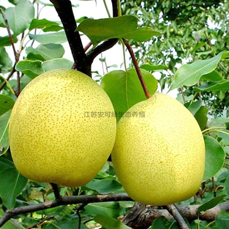 鲜果采摘梨子