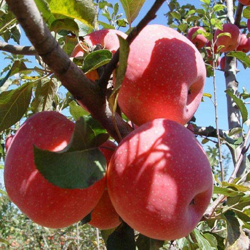 鲜果采摘苹果
