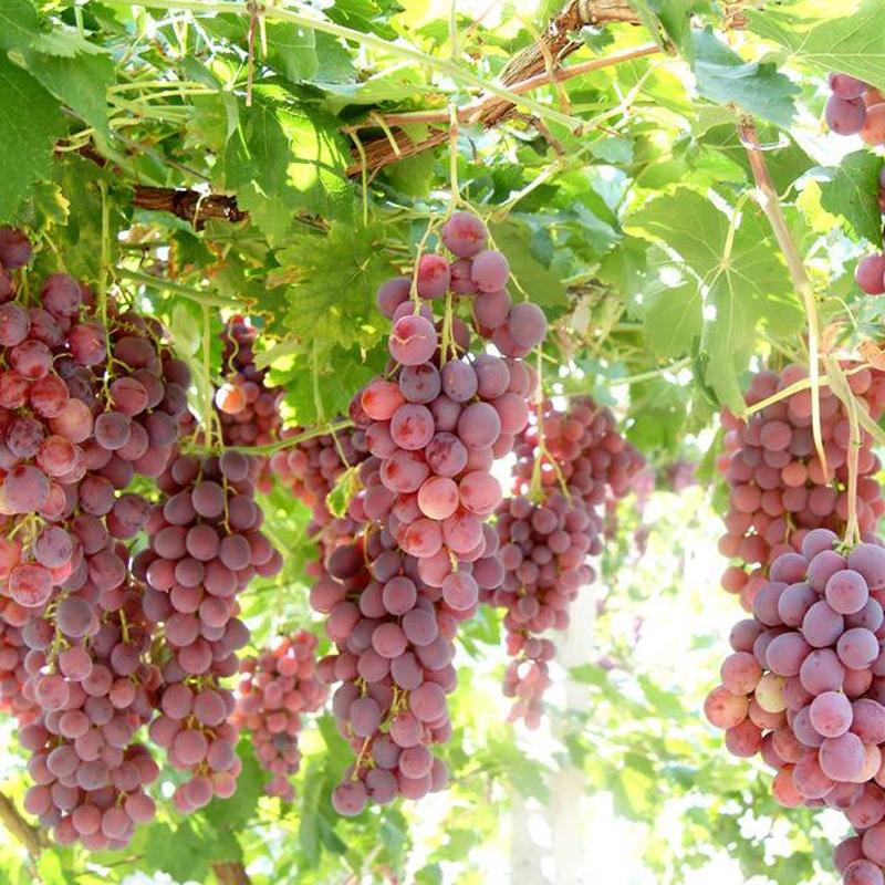 鲜果采摘葡萄
